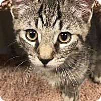 Adopt A Pet :: Chi Chi - Bensalem, PA