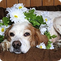 Adopt A Pet :: Daisy- Medical Care Needed - Wood Dale, IL