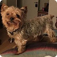 Adopt A Pet :: Boomerang (Boomer) - Richardson, TX