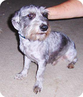 Schnauzer (Miniature) Mix Dog for adoption in Jacksonville, Florida - Gus