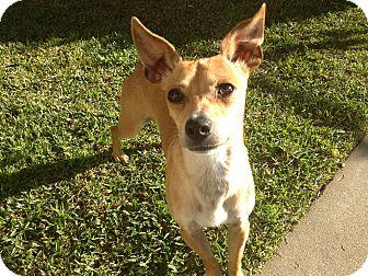 Italian Greyhound Mix Dog for adoption in Irvine, California - BAMBI