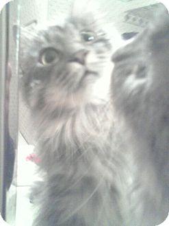 Domestic Longhair Cat for adoption in Sterling Hgts, Michigan - Bijou