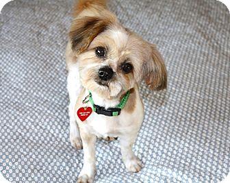 Shih Tzu/Maltese Mix Dog for adoption in Bellflower, California - Leo - I do not shed!