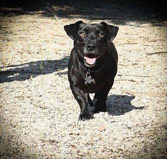 Dachshund/Jack Russell Terrier Mix Dog for adoption in Folsom, Louisiana - Jason Lee