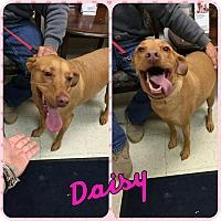 Adopt A Pet :: Daisy - bridgeport, CT