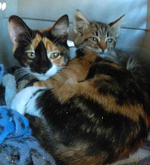 Calico Cat for adoption in Tonopah, Arizona - Fluffy