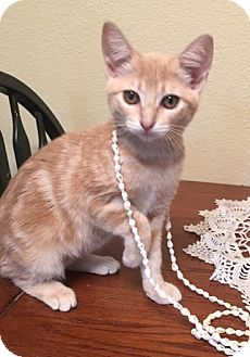 Domestic Shorthair Kitten for adoption in Houston, Texas - Mango