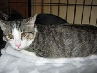 Domestic Shorthair Cat for adoption in Arlington, Texas - Snikkers