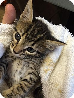 American Shorthair Kitten for adoption in Metairie, Louisiana - Lucas