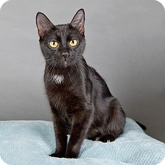 Domestic Shorthair Cat for adoption in Wilmington, Delaware - Anastasia