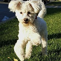 Maltese/Poodle (Miniature) Mix Dog for adoption in Los Angeles, California - Honey