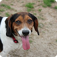 Beagle Mix Dog for adoption in Summerville, South Carolina - Henry