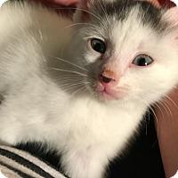 Adopt A Pet :: Perolita - Miami Shores, FL