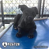 Adopt A Pet :: FRED - San Antonio, TX