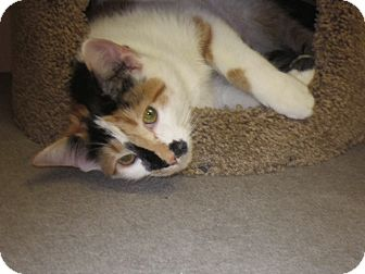 Calico Kitten for adoption in Warminster, Pennsylvania - Lily