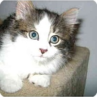 Adopt A Pet :: Fluffy kitten - Etobicoke, ON