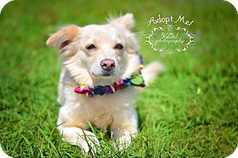 Pomeranian Mix Dog for adoption in Fort Valley, Georgia - Peggy Sue