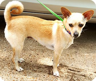 Chihuahua Mix Dog for adoption in Houston, Texas - Bella