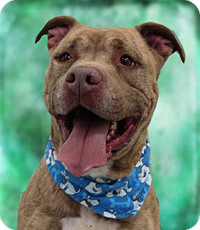 American Staffordshire Terrier Mix Dog for adoption in Cincinnati, Ohio - Bruce