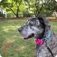 Adopt A Pet :: Dulcie - Alpharetta, GA