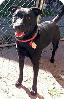 Labrador Retriever Mix Dog for adoption in Concord, North Carolina - Asha