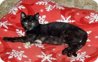 Domestic Shorthair Kitten for adoption in Salem, Oregon - Wendy