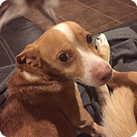 Terrier (Unknown Type, Medium) Mix Dog for adoption in Tenafly, New Jersey - Tobin