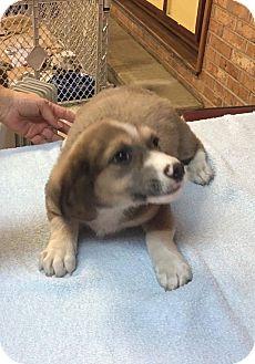 Corgi Mix Puppy for adoption in Patterson, New York - Corki