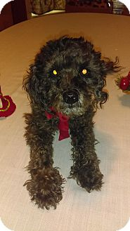 Poodle (Miniature) Dog for adoption in Manhattan, Kansas - Prince