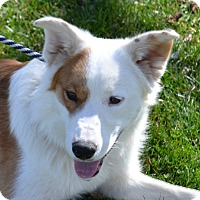 Border Collie Mix Dog for adoption in Hurricane, Utah - O'MALLEY