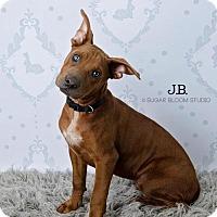 Adopt A Pet :: J.B. - Denver, CO