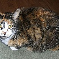 Adopt A Pet :: Patches - Lenhartsville, PA