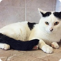 Domestic Shorthair Cat for adoption in Brooklyn, New York - Sidney- Child and +Cat Friendly!!