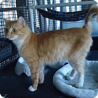 Domestic Mediumhair Cat for adoption in Speedway, Indiana - Skitty