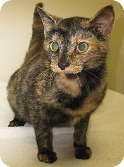 Domestic Shorthair Cat for adoption in Gary, Indiana - Latte