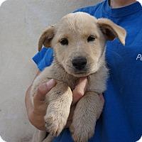 Adopt A Pet :: Sahara - Oviedo, FL