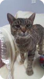 Domestic Shorthair Cat for adoption in Hawk Point, Missouri - Tinsel