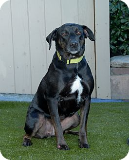 Labrador Retriever Mix Dog for adoption in Van Nuys, California - Alex