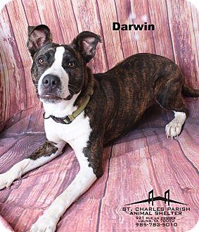 Pit Bull Terrier/Husky Mix Dog for adoption in Luling, Louisiana - Darwin