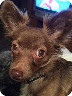 Chihuahua Dog for adoption in Toronto, Ontario - Huxley 3255