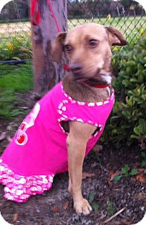 Beagle/Miniature Pinscher Mix Dog for adoption in Irvine, California - DOLCE, see her video!
