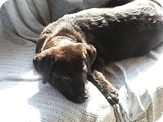 Labrador Retriever Mix Puppy for adoption in Richmond, Virginia - Coal