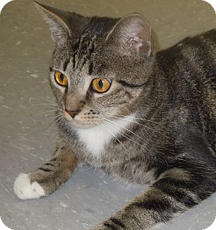 "Domestic Shorthair Cat for adoption in Scottsburg, Indiana - "" Cher """