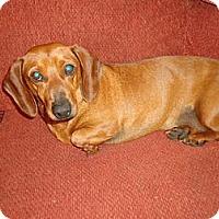 Adopt A Pet :: Porkchop - Allentown, PA