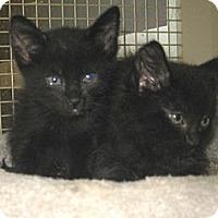 Adopt A Pet :: Puffball - Dallas, TX