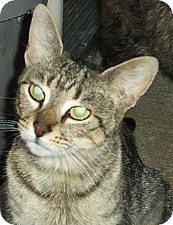 Domestic Shorthair Cat for adoption in Ashland, Ohio - Bones