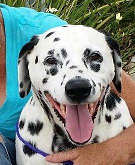 Dalmatian Dog for adoption in Gardena, California - Cindy - Seeking Sponsors