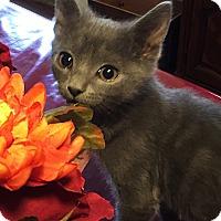 Adopt A Pet :: Jupiter - N. Billerica, MA
