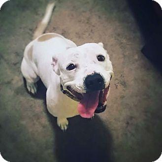 American Bulldog/English Bulldog Mix Dog for adoption in Chicago, Illinois - Courtney