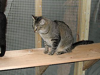 Domestic Shorthair Cat for adoption in Naples, Florida - Katie